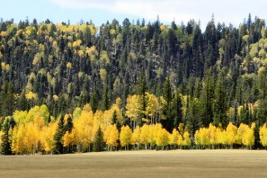 Aspen in DeMotte Park in the North Kaibab Ranger District, Arizona, September 2013 | Photo courtesy of U.S. Forest Service, Southweste​rn Region, Kaibab National Forest, St. George News