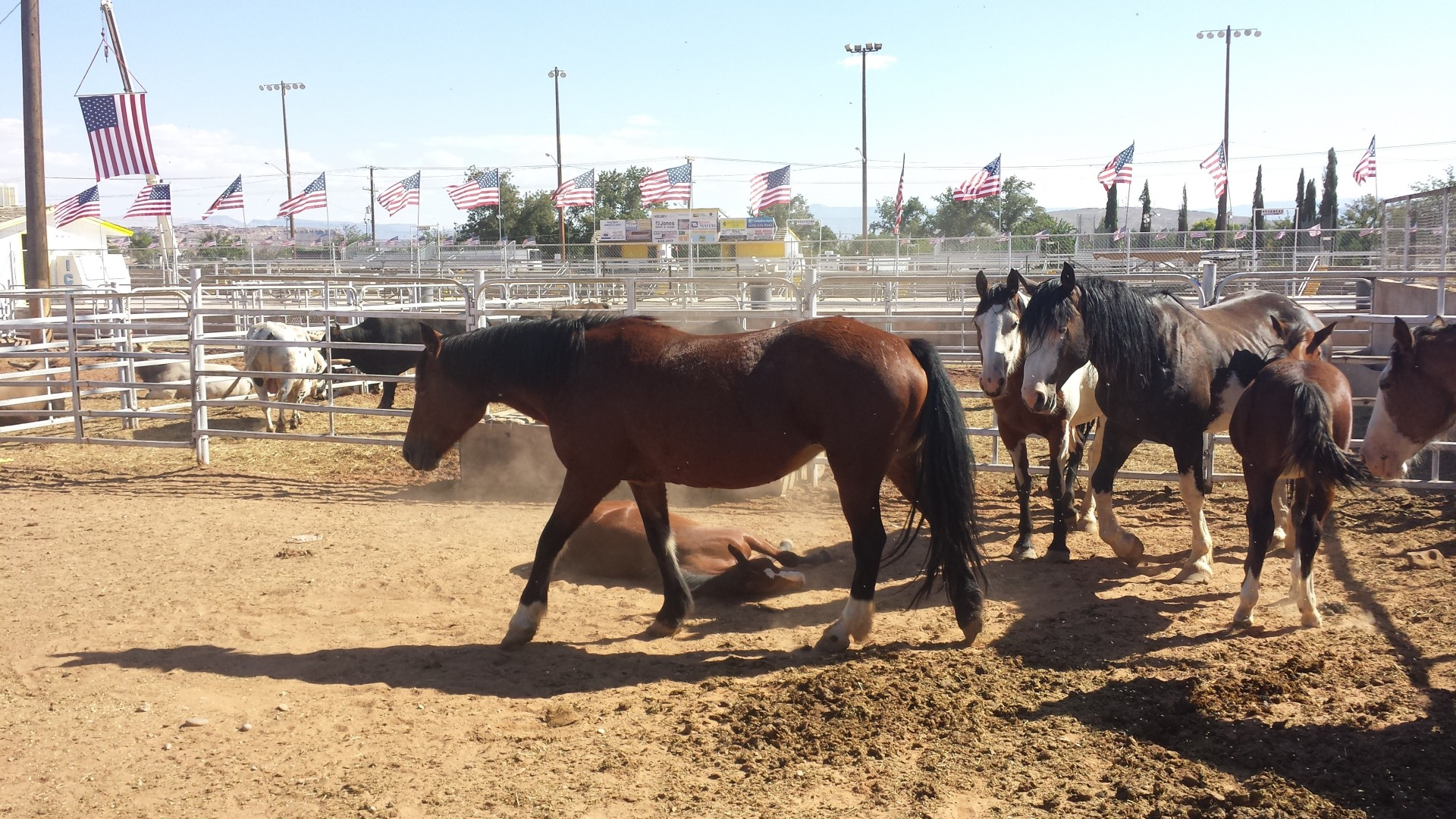 Picture of a bucking horse, Dixie Rodeo at the Sunbowl. St. George, Utah. Sept 13, 2014 | Photo by T.S Romney St. George News