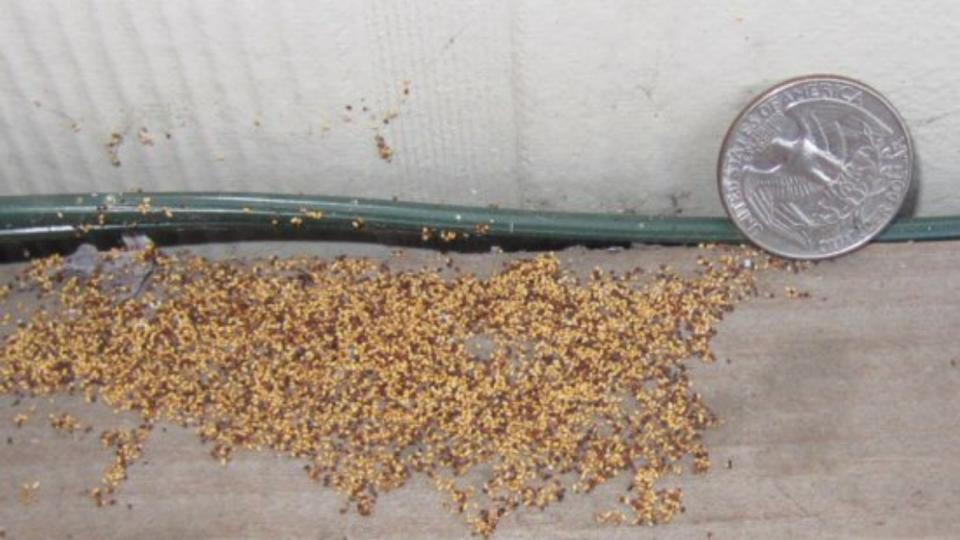 Termite Droppings, Call Frass, Resemble Sawdust | Photo Courtesy Of Morgan  Lawn And Pest