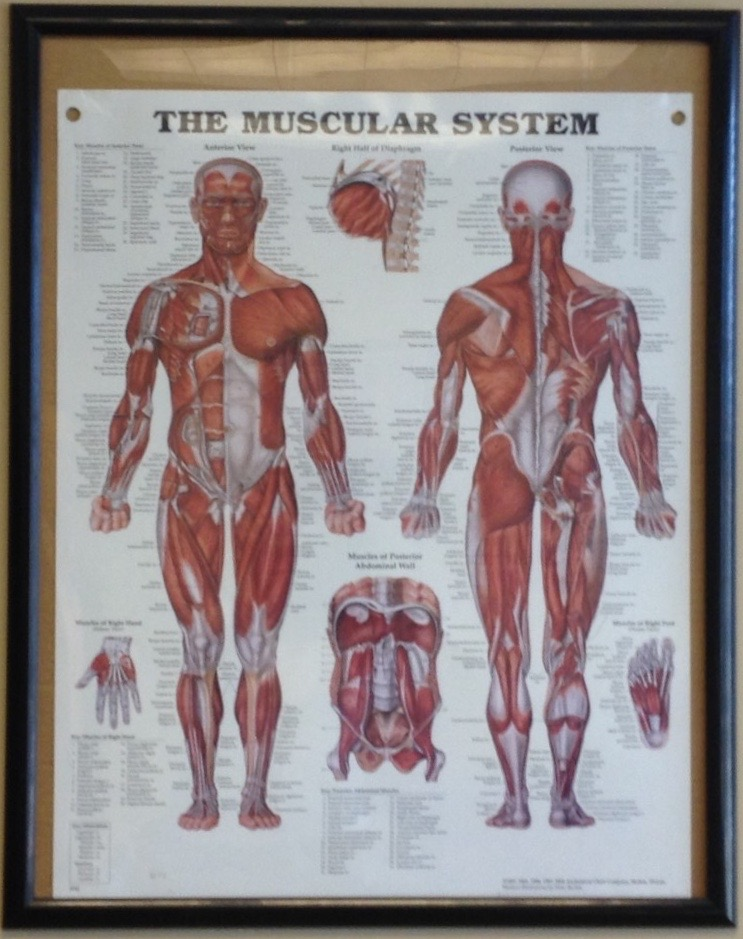 Muscular system poster at the office of Total Balance Health Wellness and Training Center, St. George, Utah, August 14, 2014 | Photo by Hollie Reina, St. George New