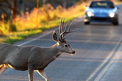 stg-Deer-vs-car