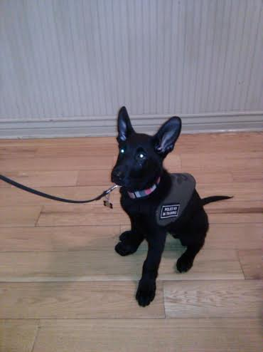 Police dog in training Vinnie, a black German Shepherd, to be donated to the Washington County Sheriff's Office in June 2015 by Havoc K9, at the Opera House located at 212 N. Main Street in St. George, Utah, Sept. 26, 2014 | Photo by Aspen Stoddard, St. George News