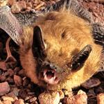 bats-in-GC