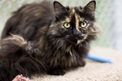 Cookie, recently adopted from the St. George Animal Shelter, was a longtime resident of the cat room before being adopted, St. George, Utah, date note specified | Photo courtesy of Pauline Bringhurst, St. George News