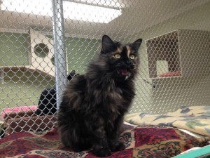 Cookie, recently adopted from the St. George Animal Shelter, was a longtime resident of the cat room before being adopted, St. George, Utah, date note specified   Photo courtesy of Pauline Bringhurst, St. George News