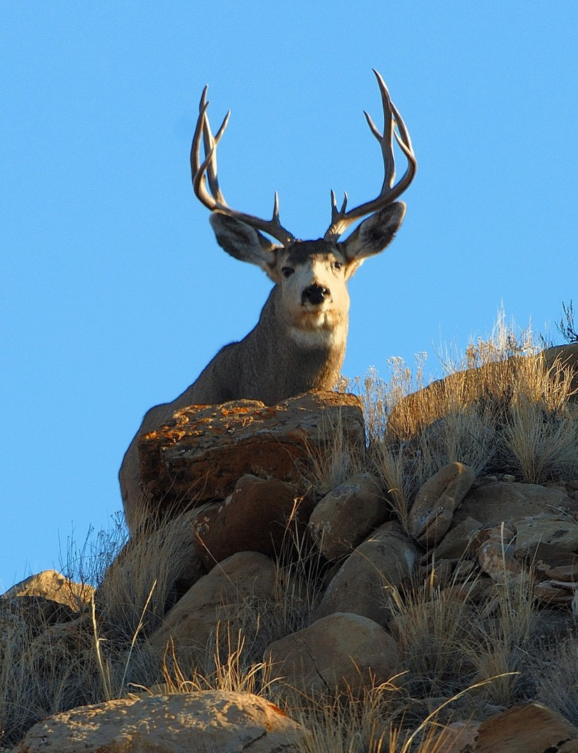 Reports from DWR biologists indicate the first weekend of Utah's 2014 general rifle buck deer hunt was a good one.  The hunt runs through Oct. 26. Utah, location and date not specified | Photo Courtesy of Dustin Stettler, Division of Wildlife Resources, St. George News