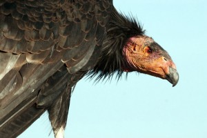 The number of California condors treated for lead exposure in Utah and Arizona has fallen to its lowest level since 2005. Location, date unspecified  Photo by Lynn Chamberlain, Utah Division of Wildlife Resources, St. George News