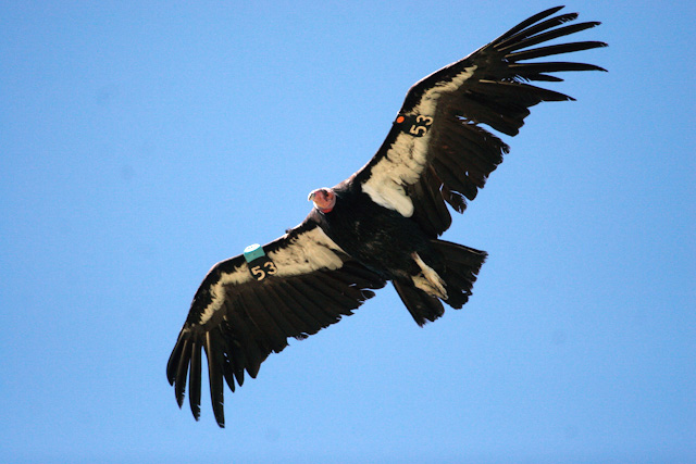 The number of California condors treated for lead exposure in Utah and Arizona has fallen to its lowest level since 2005. Location, date unspecified| Photo by Lynn Chamberlain, Utah Division of Wildlife Resources, St. George News