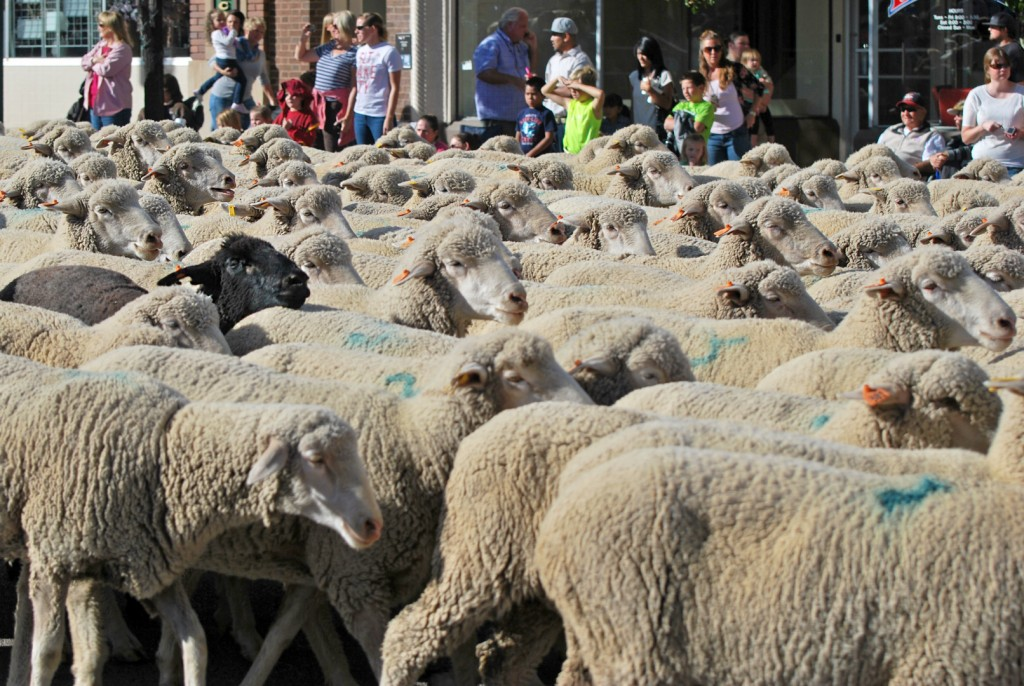 Bradshaw Chevrolet Cedar City >> 1,000 sheep stomp down Cedar City Main Street; Videocast, Photo Gallery – St George News