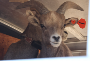 A bighorn sheep ready for transport after being assessed and tagged, Nov. 23, 2014 | Photo by Leanna Bergeron, St. George News