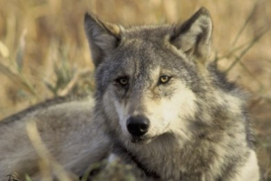 Gray wolf, generic - does not depict the particular wolf in the attached report, date and location not specified | Photo courtesy of John and Karen Hollingsworth/U.S. Fish and Wildlife Service, St. George News