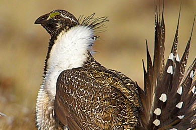 Photo of Gunnison sage-grouse near Monticello, Monticello, Utah, undated | Photo courtesy of Utah Department of Wildlife Resources, St. George News