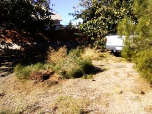 A pine tree lies on the ground after a truck knocked it over near Pearl Rose Drive and Country Lane in Santa Clara, Utah, Nov. 7, 2014 | Photo by Aspen Stoddard, St. George News