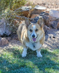 Duke, a 40-pound corgi, owned by Scott and Sandra Adams, Hurricane, Utah, date unspecified | Photo courtesy of Bruce Smith, 11,000 Lakes Photography, St. George News