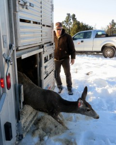 Deer from Antelope Island released on Elk Ridge, Monticello, Utah, Jan. 30, 2015 | Photo by Dustin Mitchell, St. George News