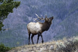 Bull elk in the wild, Southern Utah, September 26, 2012 | Photo by Ron Stewart, St. George News