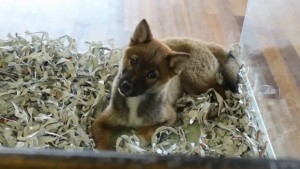 A puppy for a sale at Fur de Leash in St. George, Utah, Feb. 19, 2015 | Photo by Leanna Bergeron, St. George News