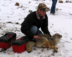 A volunteer holds the recently delivered coyote while waiting for a blindfold to help calm the animal down, Angle staging area, Angle, Utah, March 1, 2015 | Photo by Carin Miller, St. George News