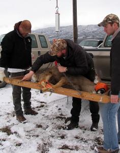 Volunteers weigh the pregnant doe before taking her into the triage tent, Angle staging area, Angle, Utah, March 1, 2015 | Photo by Carin Miller, St. George News