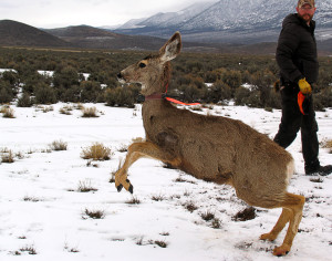 Volunteers release collared and tagged doe back into the Monroe Mountain wilderness, Angle staging area, Angle, Utah, March 1, 2015 | Photo by Carin Miller, St. George News