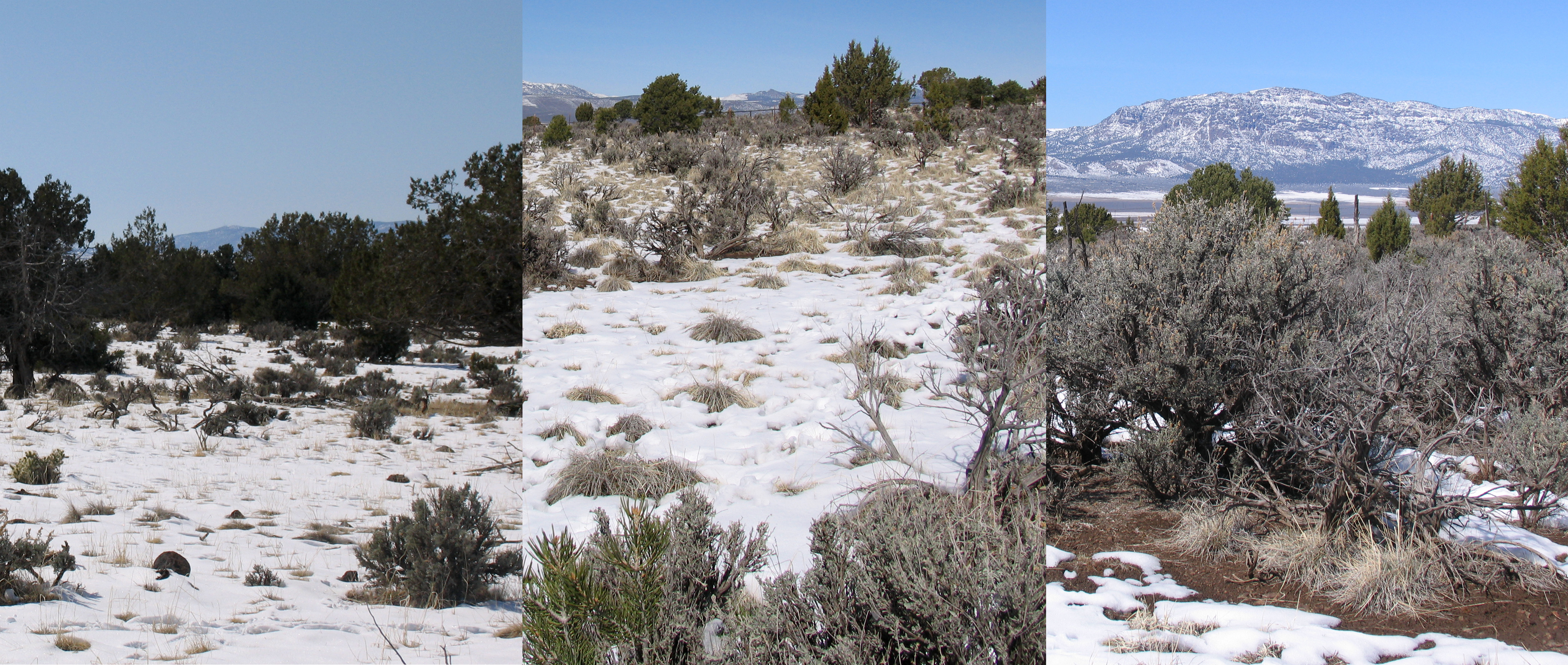 Left: Open to all grazing. Center: Rabbits-only grazing. Right: No grazing. Paragonah staging area, Paragonah, Utah, March 5, 2015 | Photo by Carin Miller, St. George News