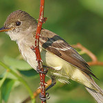 Southwestern willow flycatcher, location and date not specified | Photo courtesy of Division of Wildlife Resources, St. George News