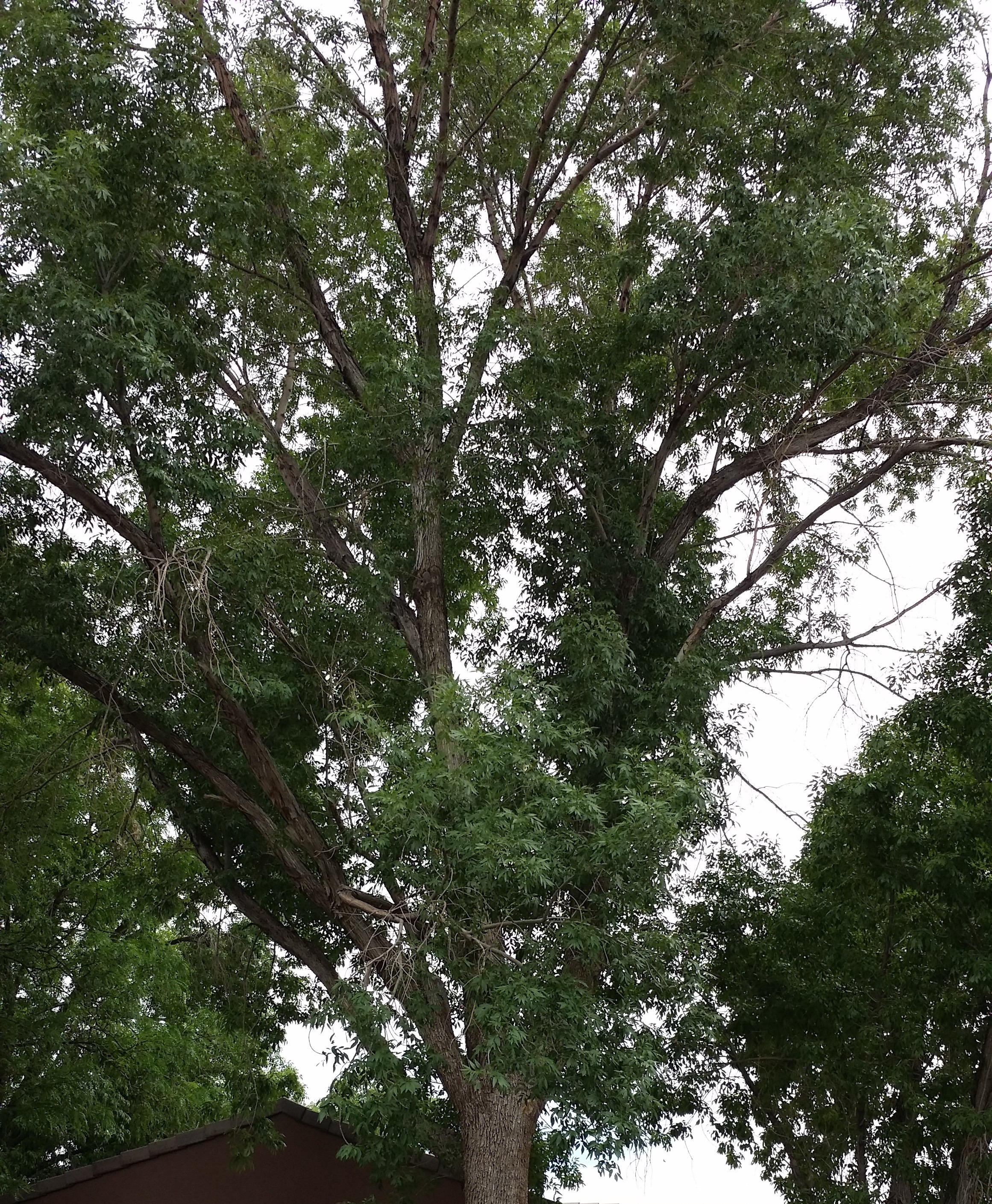 Top of Ash Tree, St. George, Utah, June 16, 2014 | Photo by Joyce Kuzmanic, St. George News