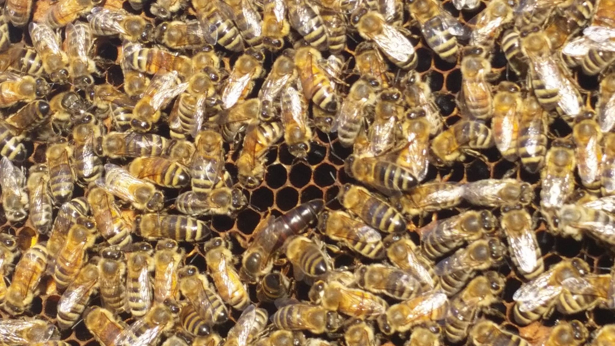 Bees in a hive, photo undated   Photo courtesy of Casey Lofthouse, St. George News