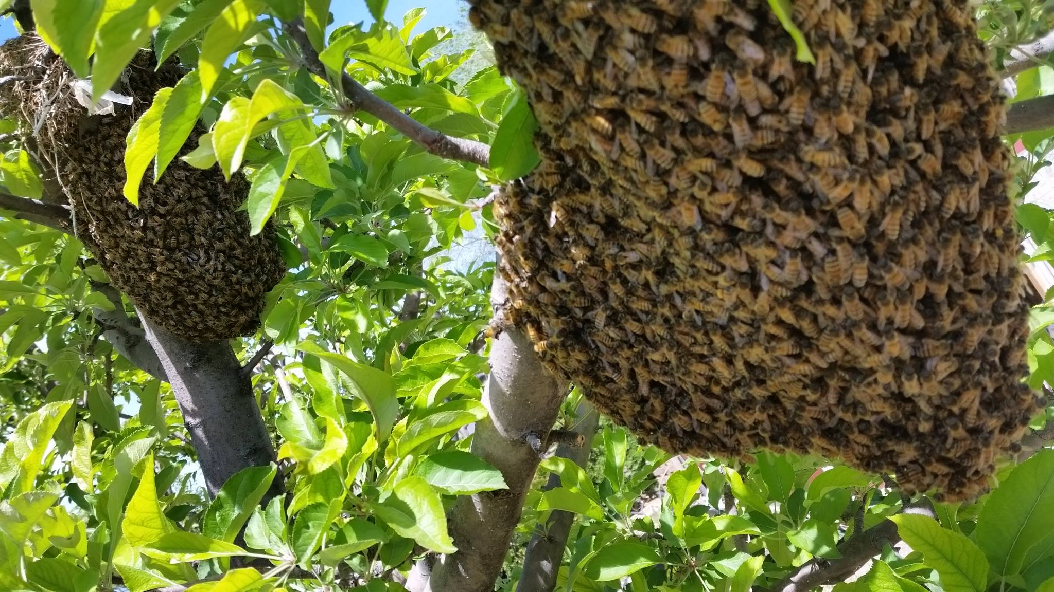 bee season balls of bees in trees swarms what you need