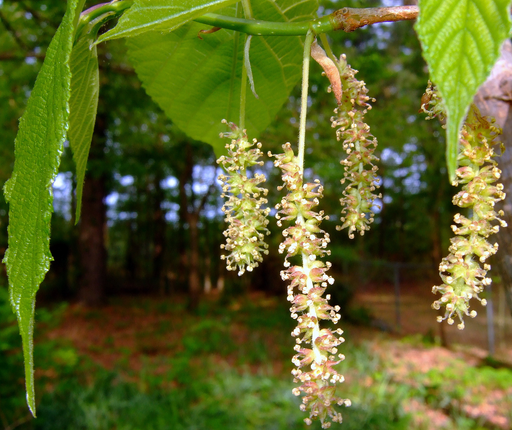 Mulberry tree bloom. Mulberries give off large amounts of pollen, and are common in St. George landscaping,  | Stock image, St. George News