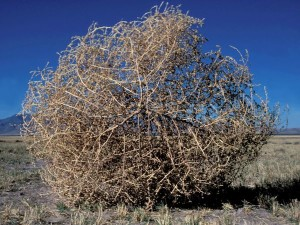 Russian thistle, or tumbleweed, grows in Southern Utah and is highly allergenic | Stock image, St. George News
