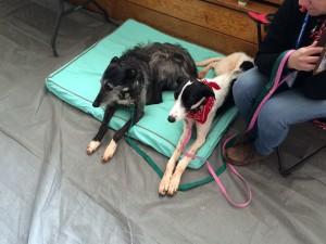 Greyhound Gathering, Kanab, Utah, May 9, 2015 | Photo by Cami Cox Jim, St. George News
