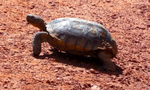 A desert tortoise crosses the trail in Johnson Canyon, Snow Canyon State Park, Utah, Sept. 21, 2014 | Photo by Julie Applegate, St. George News