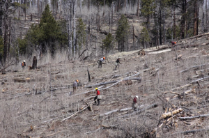 MP Forestry Crew plants ponderosa pine seedlings in burned area of Warm V project area, Kaibab National Forest, Fredonia, Arizona, undated   Photo by David Hercher, St. George News