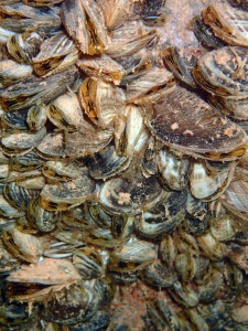 Quagga mussels cover the bottom of a boat dock at Wahweap Marina at Lake Powell.  The state of Utah is working hard to prevent mussels from spreading to other waters in the state, date unspecified | Photo courtesy of the Utah Division of Wildlife Resources, St. George News