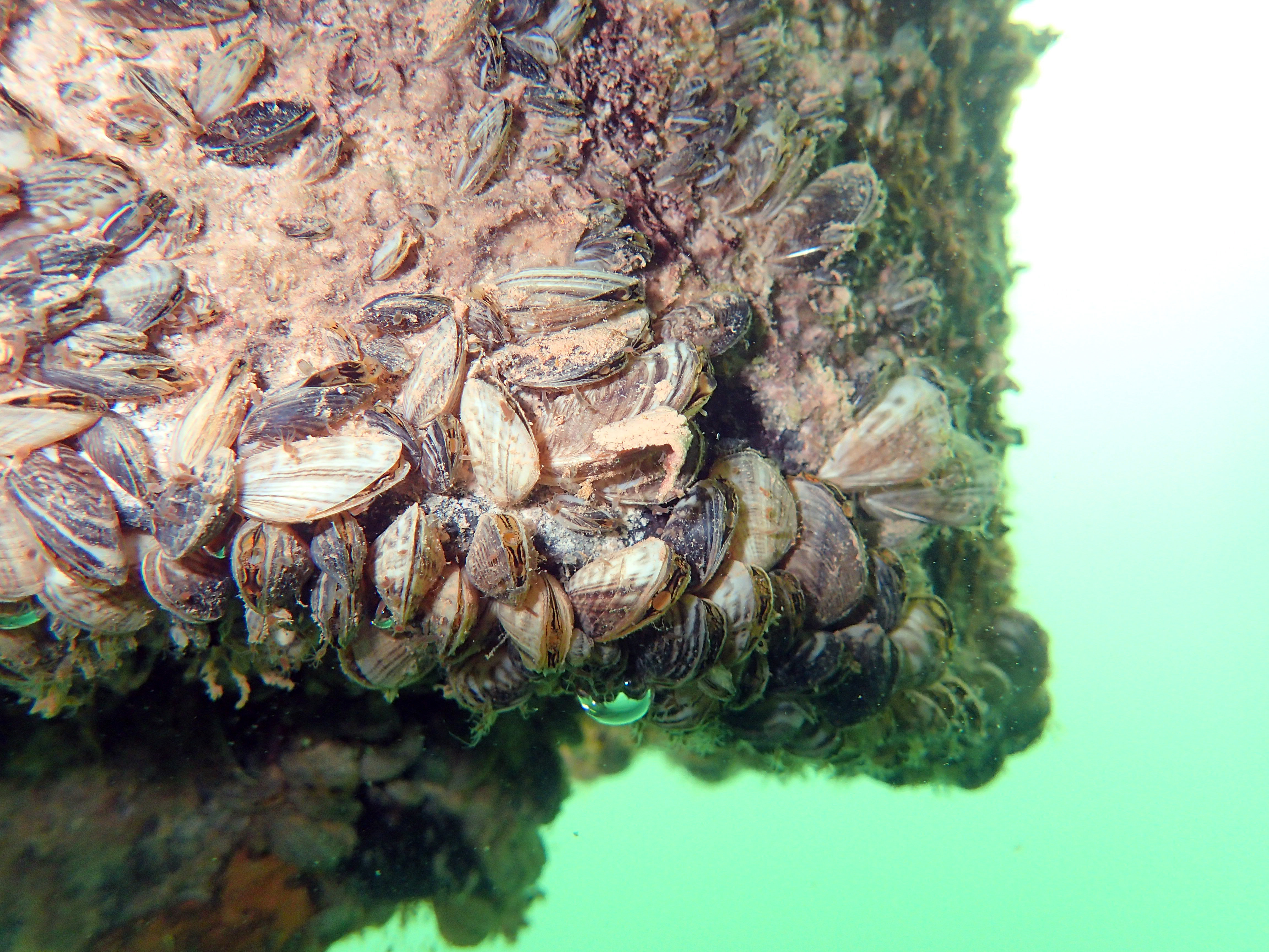 Quagga mussels cover the bottom of a boat dock at Wahweap Marina at Lake Powell, date unspecified | Photo courtesy of the Utah Division of Wildlife Resources, St. George News