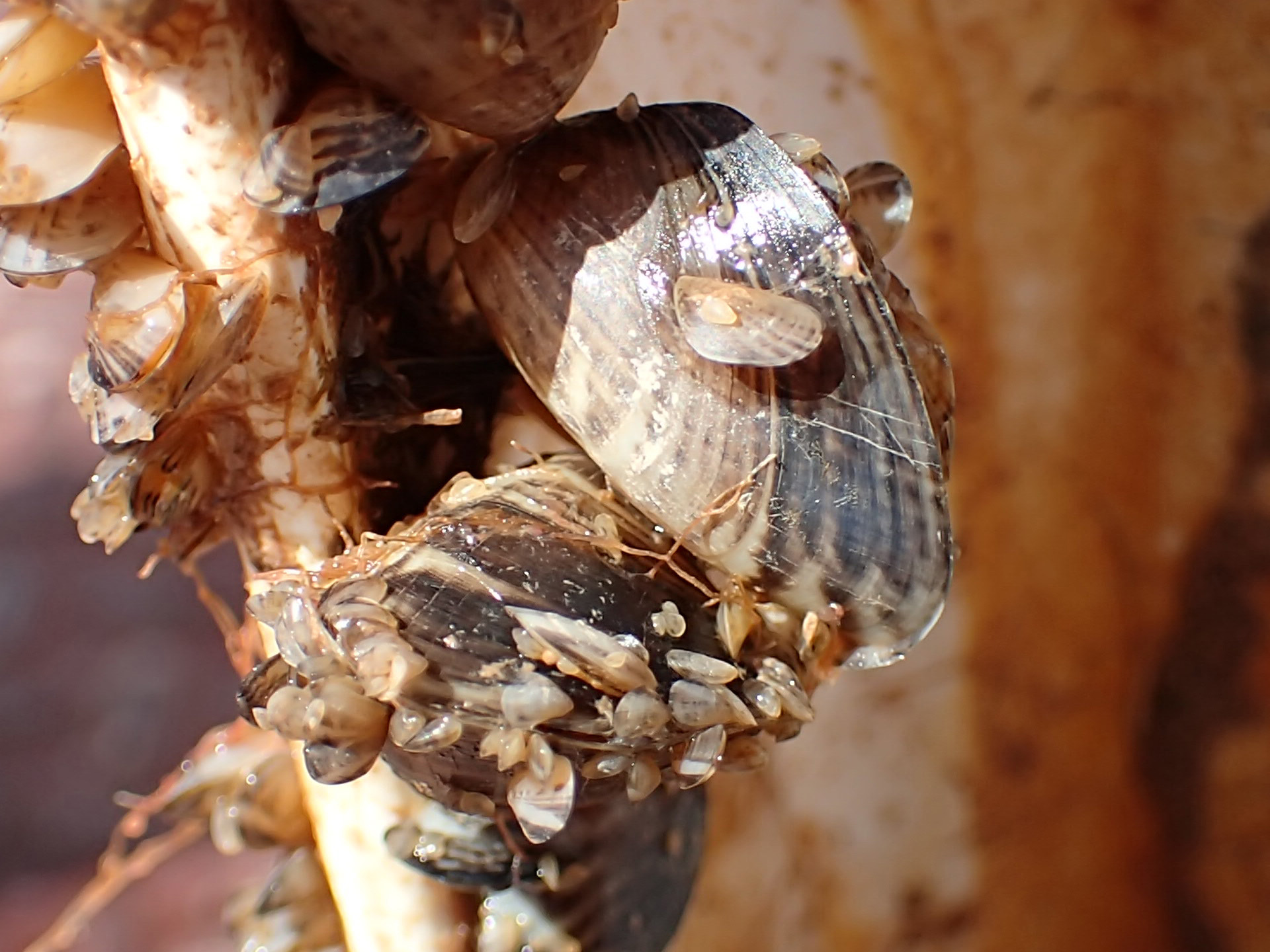 Quagga mussels at the Wahweap Marina at Lake Powell, date unspecified | Photo courtesy of the Utah Division of Wildlife Resources, St. George News