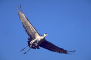 Applications to hunt sandhill cranes in Utah will be accepted starting July 8, location unspecified, June 9, 2011 | Photo by Lynn Chamberlain, St. George News
