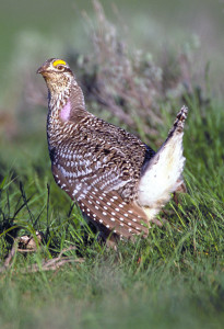 Applications to hunt sharp-tailed grouse in Utah will be accepted starting July 8, location unspecified, November 26, 2008 | Photo by Phil Douglass, St. George News