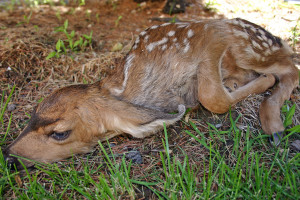 Mule deer fawn lying in the grass, location and date unspecified | Photo courtesy of DWR, St. George News