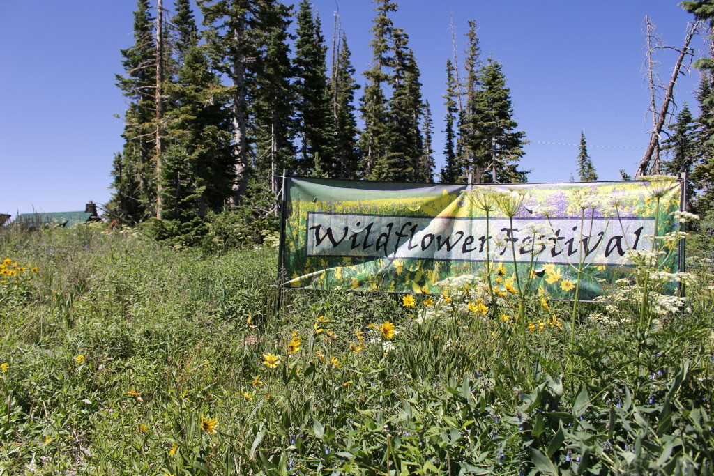 Wildflowers in bloom at the Cedar Breaks Wildflower Festival, Cedar Breaks National Monument, July 16, 2015 | Photo by Emily Hammer, St. George News