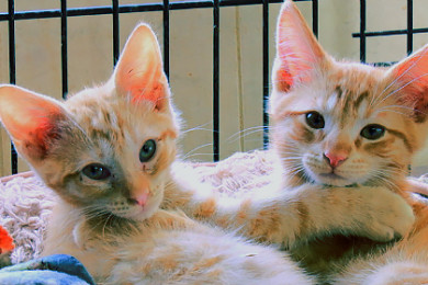 adopt-a-paws-kittens