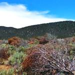 Rotting pinyon and juniper trees near Caliente, Nevada, undated | Photo courtesy of Gary Barnett, St. George News