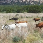 Cattle graze in Kane County, Utah, date not specified | Photo courtesy of Bureau of Land Management, St. George News