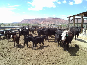 Some of Hal Hamblin's cows, Kanab, Utah, April 14, 2015 | Photo by Cami Cox Jim, St. George News
