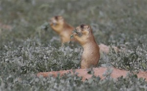 This Aug. 6, 2015, photo, shows prairie dogs, in southern Utah. Utah health officials said Thursday, Aug. 27, 2015, that a resident who died from the plague in August mostly likely contracted it from a prairie dog infected with the disease. State wildlife officials say the only confirmed outbreak of plague in prairie dogs this year was in an eastern Utah colony | AP Photo by Rick Bowmer, St. George News