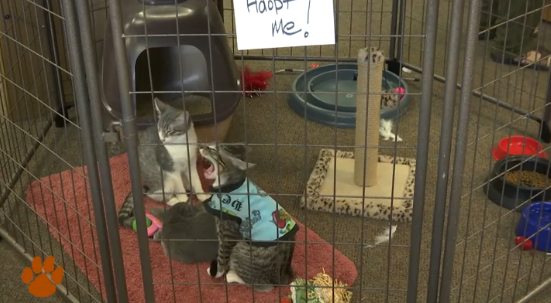 Adoptable cats from P.A.W.S. at the PAWSitively Unique Boutique thrift store in St. George, Utah, Aug. 27, 2015 | Photo by Kassi Gillette, St. George News