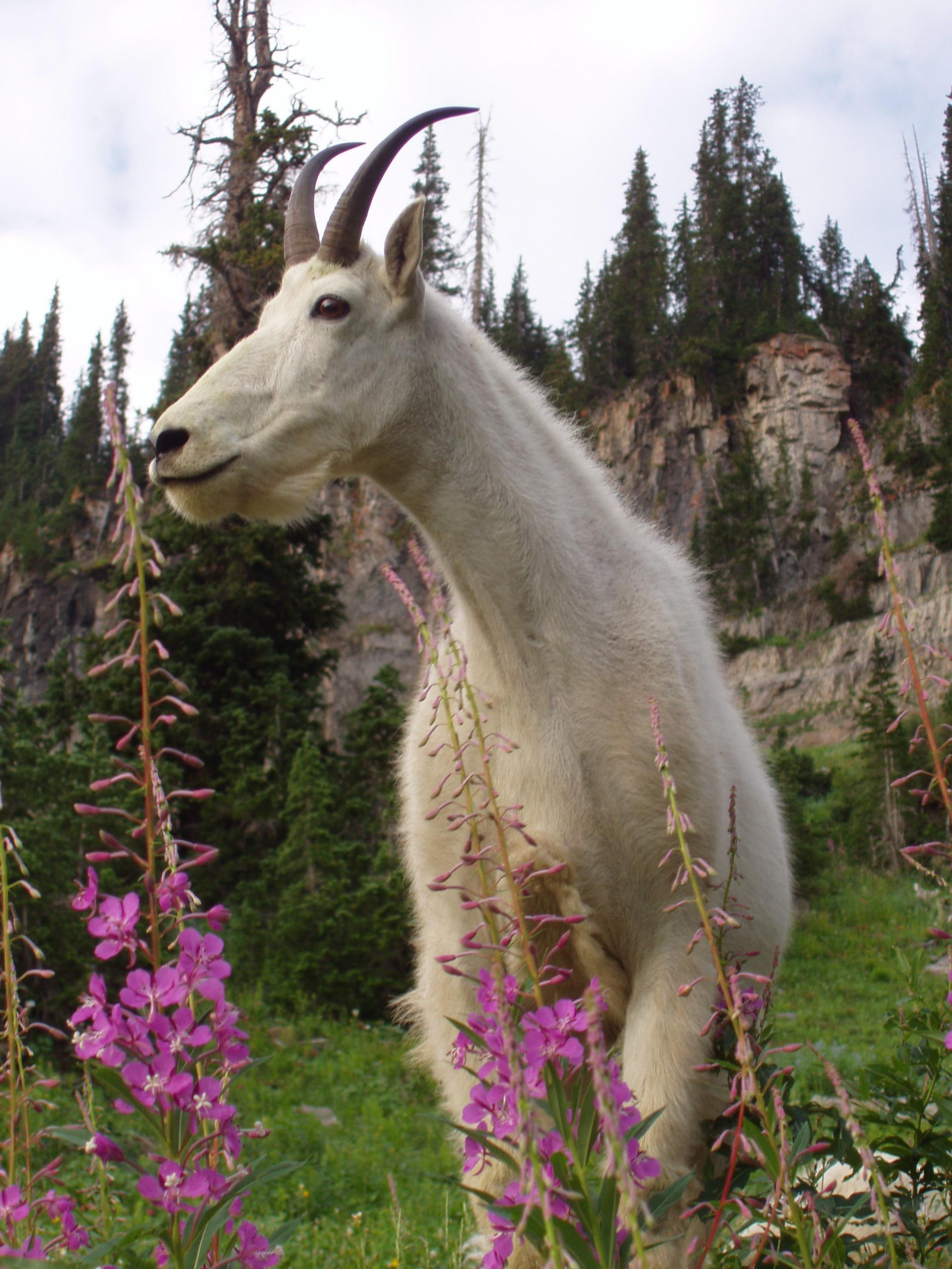 Mountain goat on Mount Timpanogos, Utah, undated | Stock image, St. George News