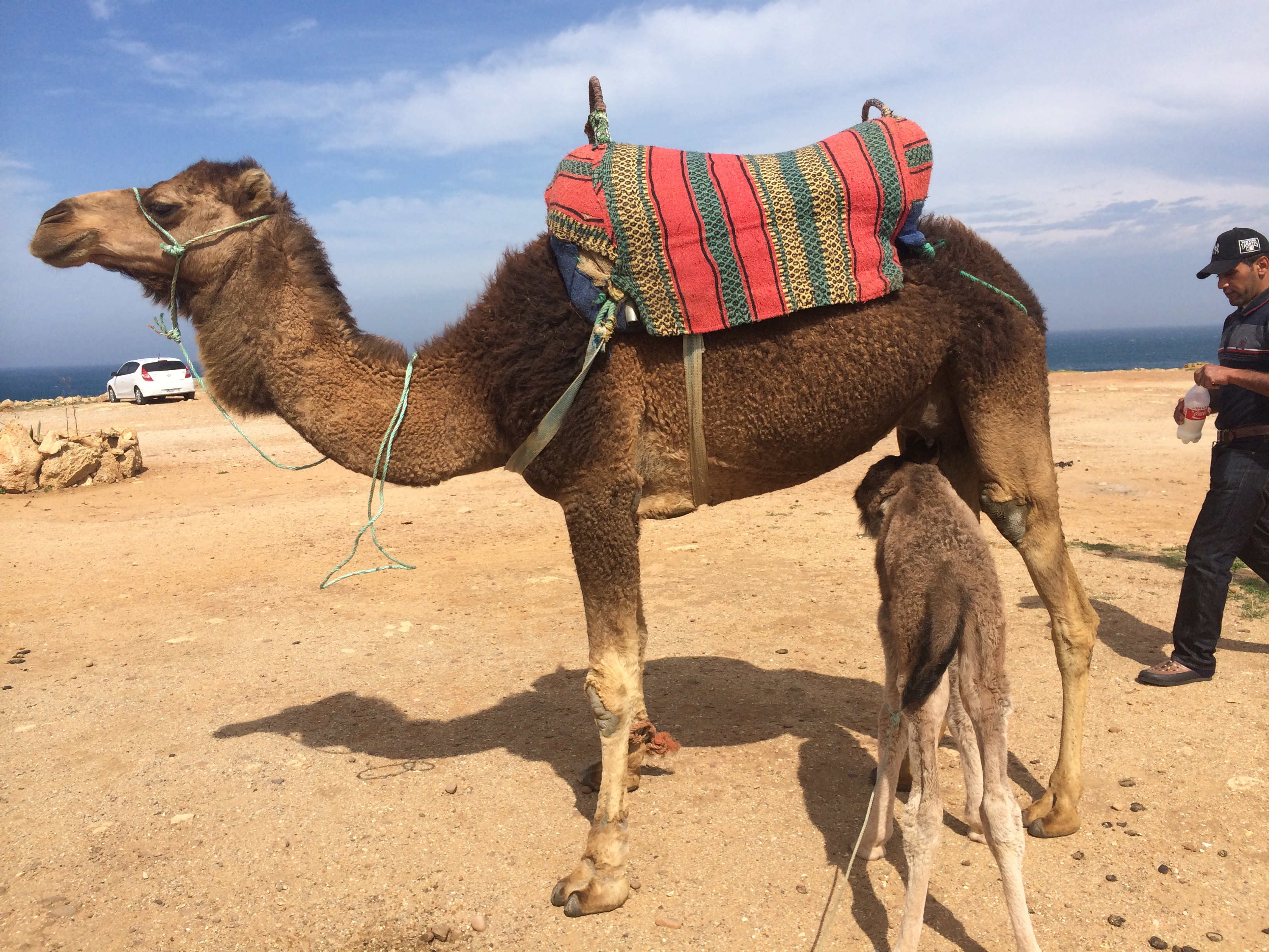 A camel and her calf in Tangiers, Morocco, April 2014   Photo by Kat Dayton, St. George News