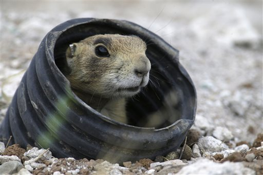 A prairie dog looks from a artificial burrow made from irrigation piping after arriving at the remote site in the desert, some 25 miles away from Cedar City, Utah. State biologists were out this summer rounding up prairie dogs that have overrun a small southern Utah town and moving them where they can't wreak havoc, Aug. 6, 2015 | AP Photo by Rick Bowmer, St. George News